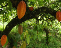 Nigeria's light-crop cocoa output may rise 20% on rainfall, chemicals, farmers say