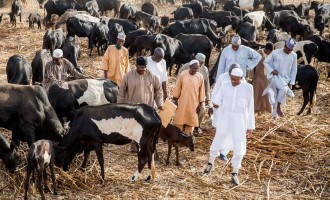 Atiku: Buhari's cows are always 150… he has never run a successful business