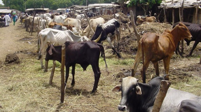Cattle-ranching is an attack on Fulani culture