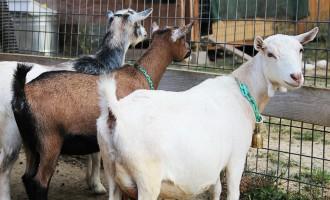 Police detain 14 'stolen goats' in Osun