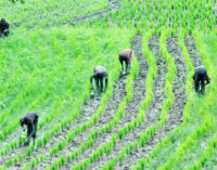 Farmers: Borders should remain closed, we can produce enough rice to feed Nigerians