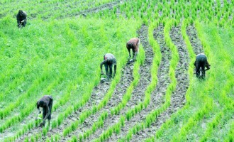 Ebonyi mandates public officials to cultivate hectares of rice