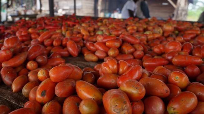 Again, Dangote's tomato processing factory shuts down