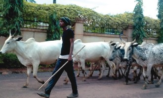 Why Melaye asked FCT minister to supervise slaughtering of cows