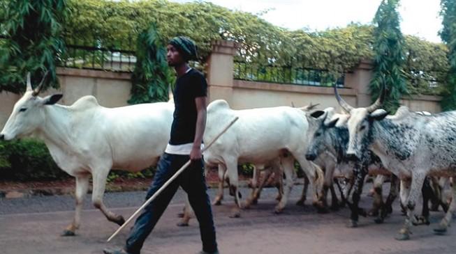 Herdsmen describe anti-grazing law as a time bomb