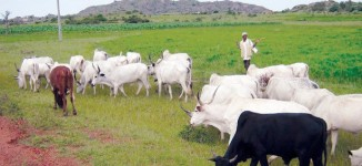 NEC approves national livestock plan to curb farmers-herder clashes