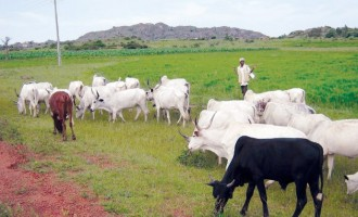 NEC approves national livestock plan to curb farmers/herder clashes