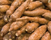 Africa's cassava yield to receive boost from 563 trials