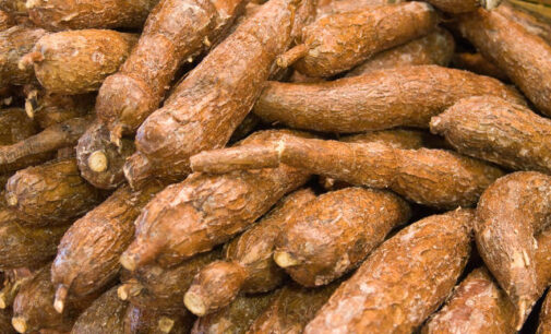 If not for cassava, hunger would have 'killed many people'