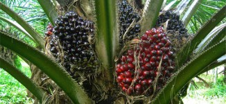 FG targets four million jobs through oil palm production