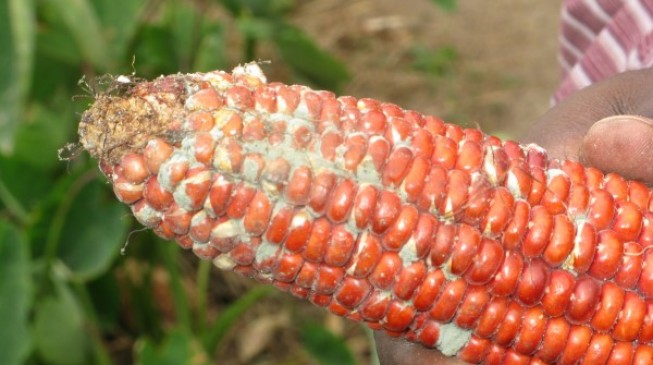 UN: Aflatoxins, the major cause of liver cancer in Africa