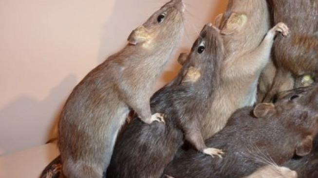 EXTRA: Rodents took over Buhari's office during his leave, says Garba Shehu
