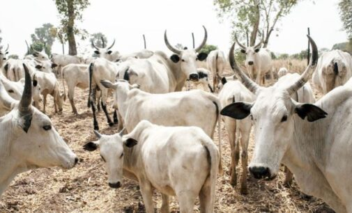 EXTRA: Adamawa councillor declared wanted over 'cattle rustling'