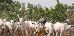 I'm a 'herdsman' — not all herdsmen are bandits