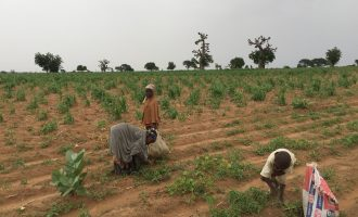 Hunger looms in Zamfara as kidnappers raid farmlands