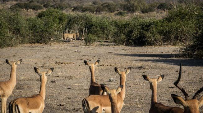 Nigeria, where impala eats lion for supper