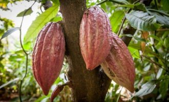 Dear farmers, you can no longer use these pesticides for your cocoa crops