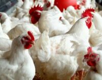 '25m people may lose jobs' — poultry farmers lament maize scarcity, high exchange rate