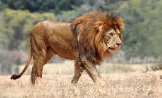 Panic as lion escapes from Kano zoo