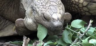 OBITUARY: Alagba, the '348-year-old' Ogbomoso tortoise and pounded yam lover still fighting in death