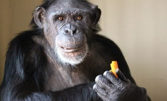 UNN zoo's last surviving chimp embalmed after death at 50