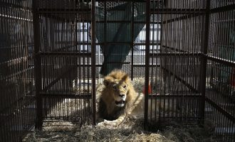 Escaped lion captured after devouring many goats