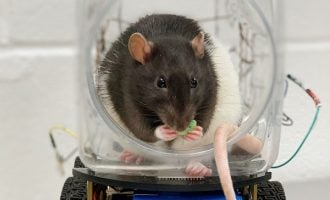 Rats taught to drive little cars for mental health research