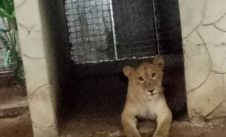 Lagos task force discovers lion 'used as security guard' by Indian