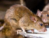 Commissioner: Lassa fever has killed more people than COVID-19 in Ondo
