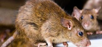 Panic as Lassa fever kills two in Kano