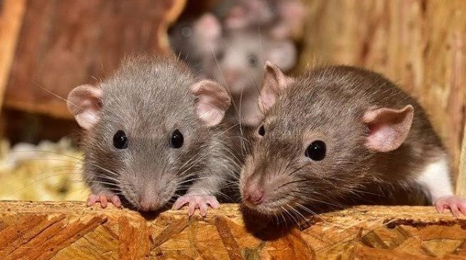 Lassa fever: Death toll rises to 41 as 258 cases are confirmed in 19 states