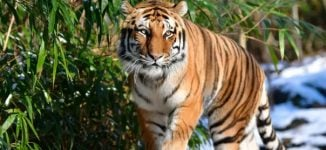 Tiger tests positive for COVID-19 at US zoo — first known case in the world