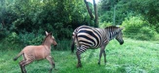 Zebra gives birth to 'zonkey' after mating with donkey