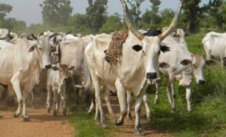 MATTERS ARISING: Can national assembly override anti-open grazing laws enacted by states?