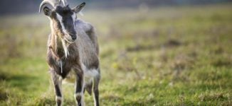 EXTRA: Goat, pawpaw 'test positive' for COVID-19 in Tanzania
