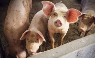 'Nearly one million pigs dead' as swine fever outbreak hits Nigeria
