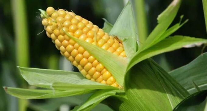 Maize, soya scarcity 'threatens 10 million jobs' in poultry industry