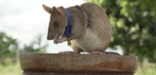 EXTRA: Rat wins bravery medal for sniffing out landmines