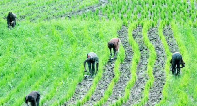 'Farmers smiling to the bank' — Ortom asks Buhari not to reverse ban on rice importation