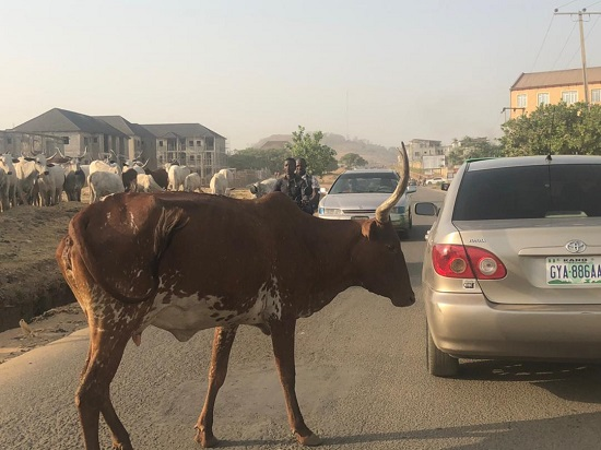 PHOTOS: Cows block road in Abuja, disrupt vehicular movement