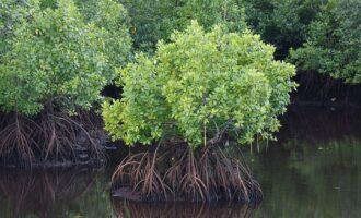 Oil spills: FG moves to restore mangroves in Ogoniland