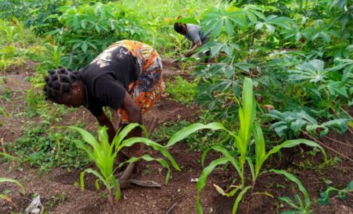 INSIDE STORY: How insecurity is turning Benue farmers into IDPs — and causing spike in price of garri