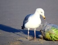Climate Facts: 99% of seabirds could be eating plastic by 2050